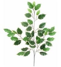 Větev ficus