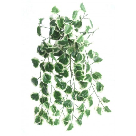 Holland ivy