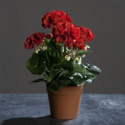 Muškát v květináči