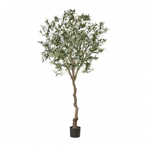 Olivovník, 240 cm