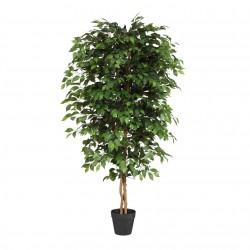 Ficus Benjamini, 150 cm